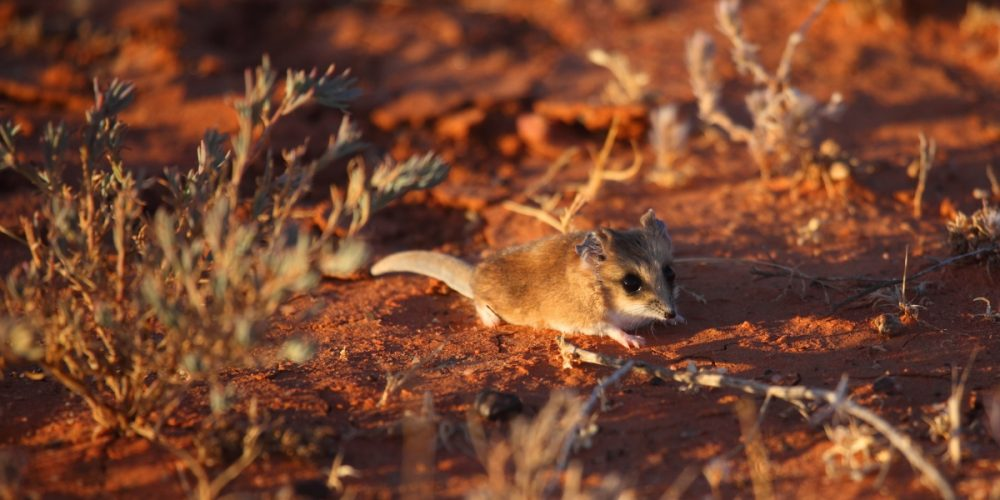 Fat-tailed dunnart_banner